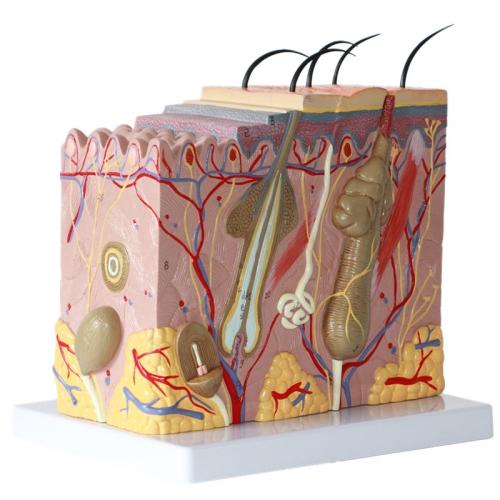 structure de la peau.jpg